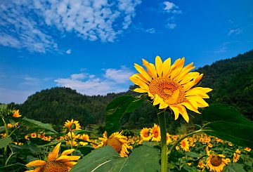 communicating-with-god-sunflower-higher-than-the-others