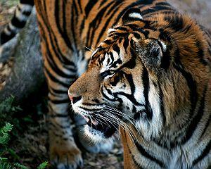 Instinct Quotes - Tiger