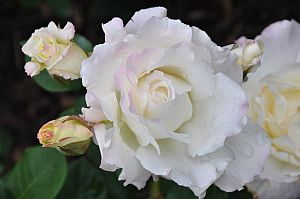 intution-white-roses