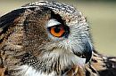 closeup owl face