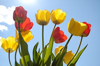 attraction-quotes-bright-tulips