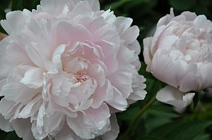 psychic-abilities-peony-clairalience